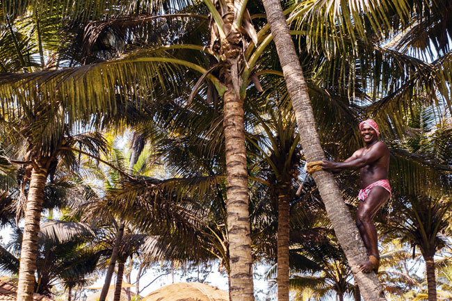 Traditional coconut plucking